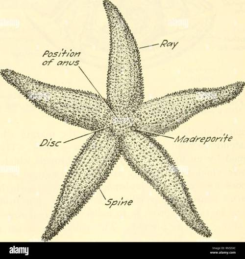 small resolution of chapter xxxv starfish a type of the phylum