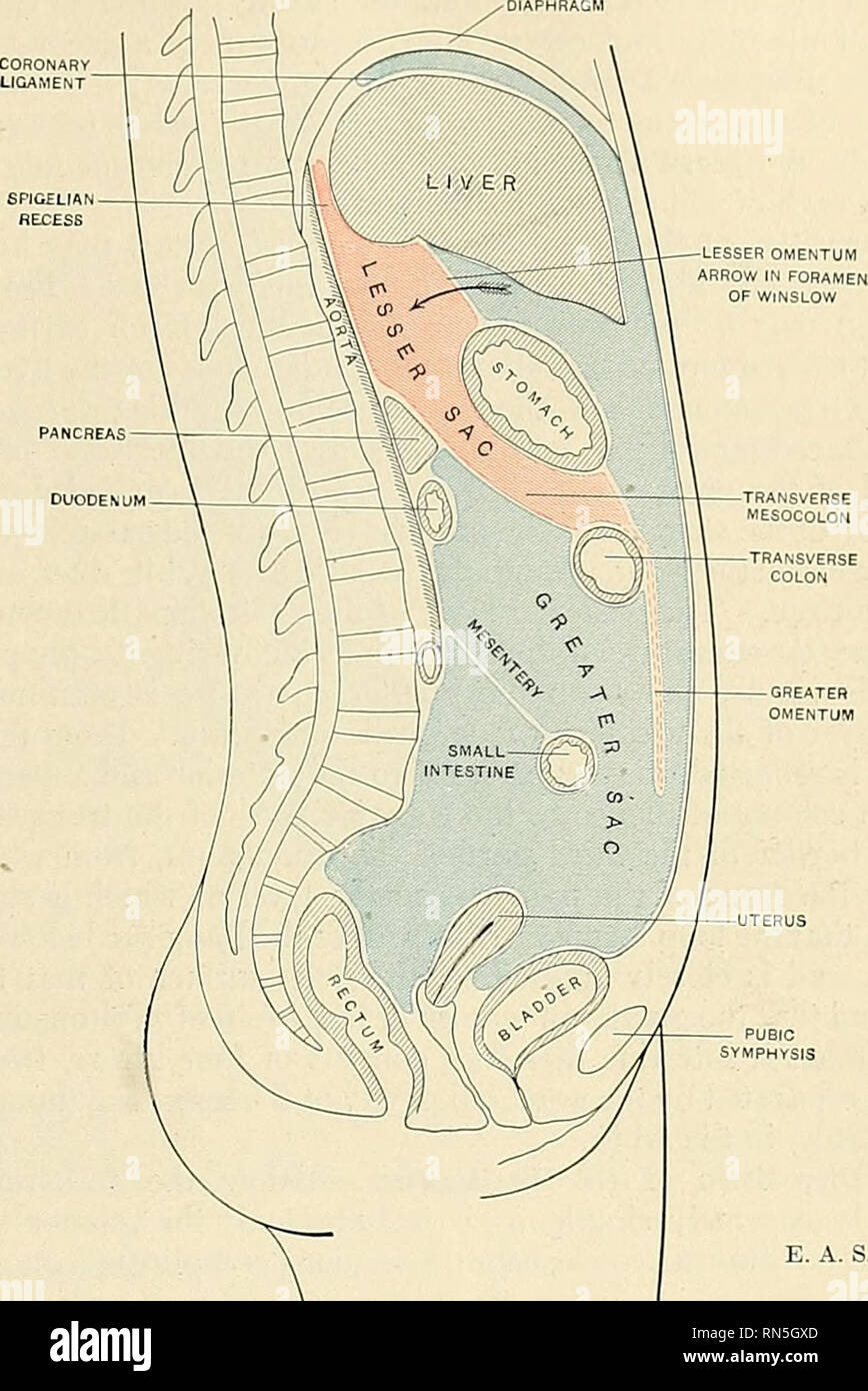 hight resolution of  anatomy descriptive and applied anatomy the peritoneum 1255 terior abdominal wall as the inferior layer of the transverse mesocolon ffif 995