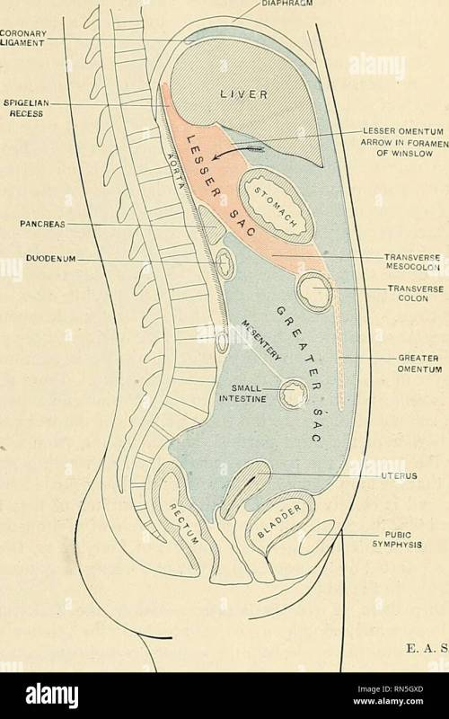 small resolution of  anatomy descriptive and applied anatomy the peritoneum 1255 terior abdominal wall as the inferior layer of the transverse mesocolon ffif 995
