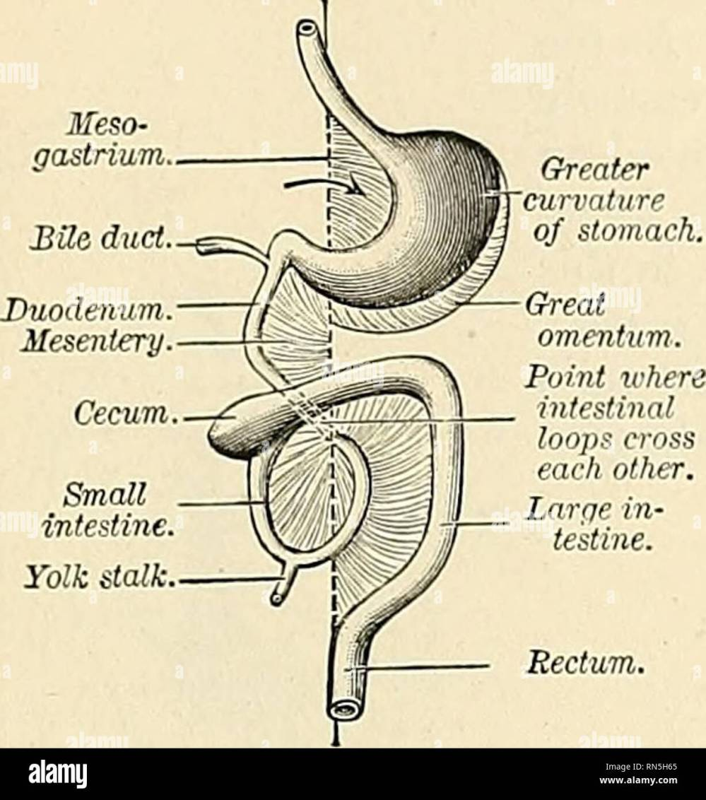 medium resolution of the pebitojs eum 1249 hepatic omentum the mesoderm lining the body cavity as well as the free surfaces of the mesenteries soon assumes the character of a