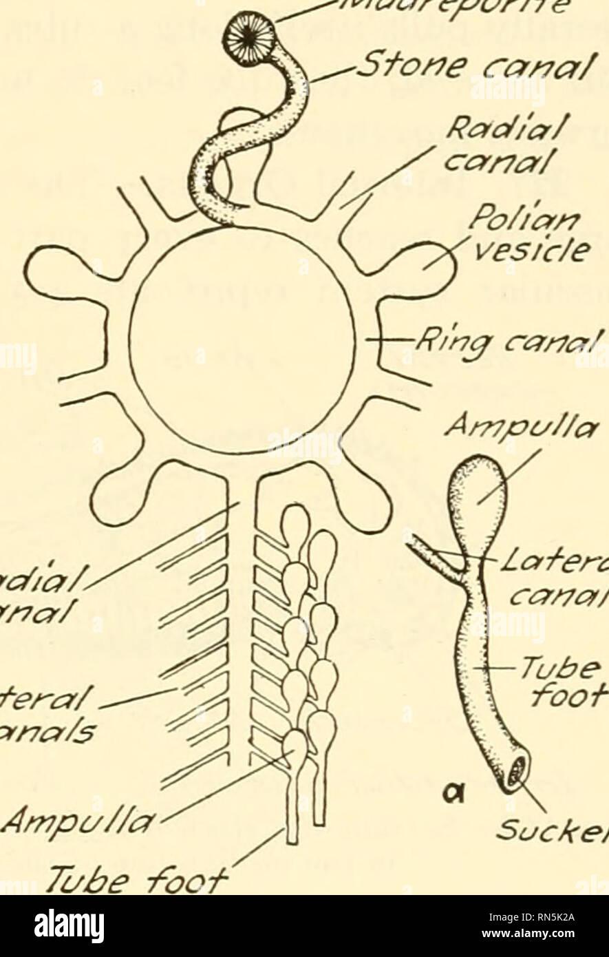 medium resolution of starfish 197 226 water vascular system the water vascular system