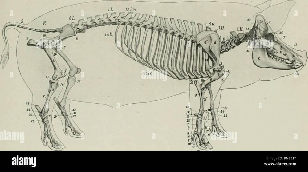 medium resolution of the anatomy of the domestic animals veterinary anatomy skeleton of the pig