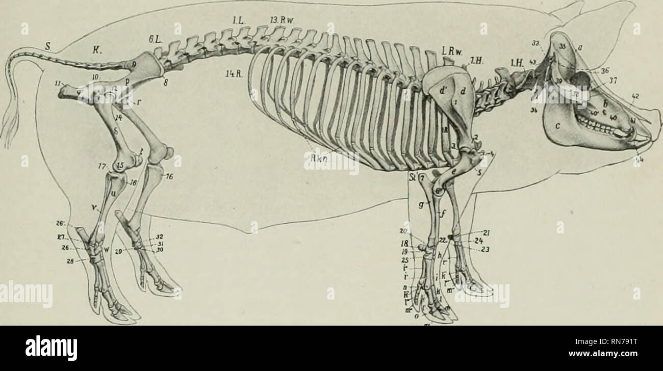 hight resolution of the anatomy of the domestic animals veterinary anatomy skeleton of the pig