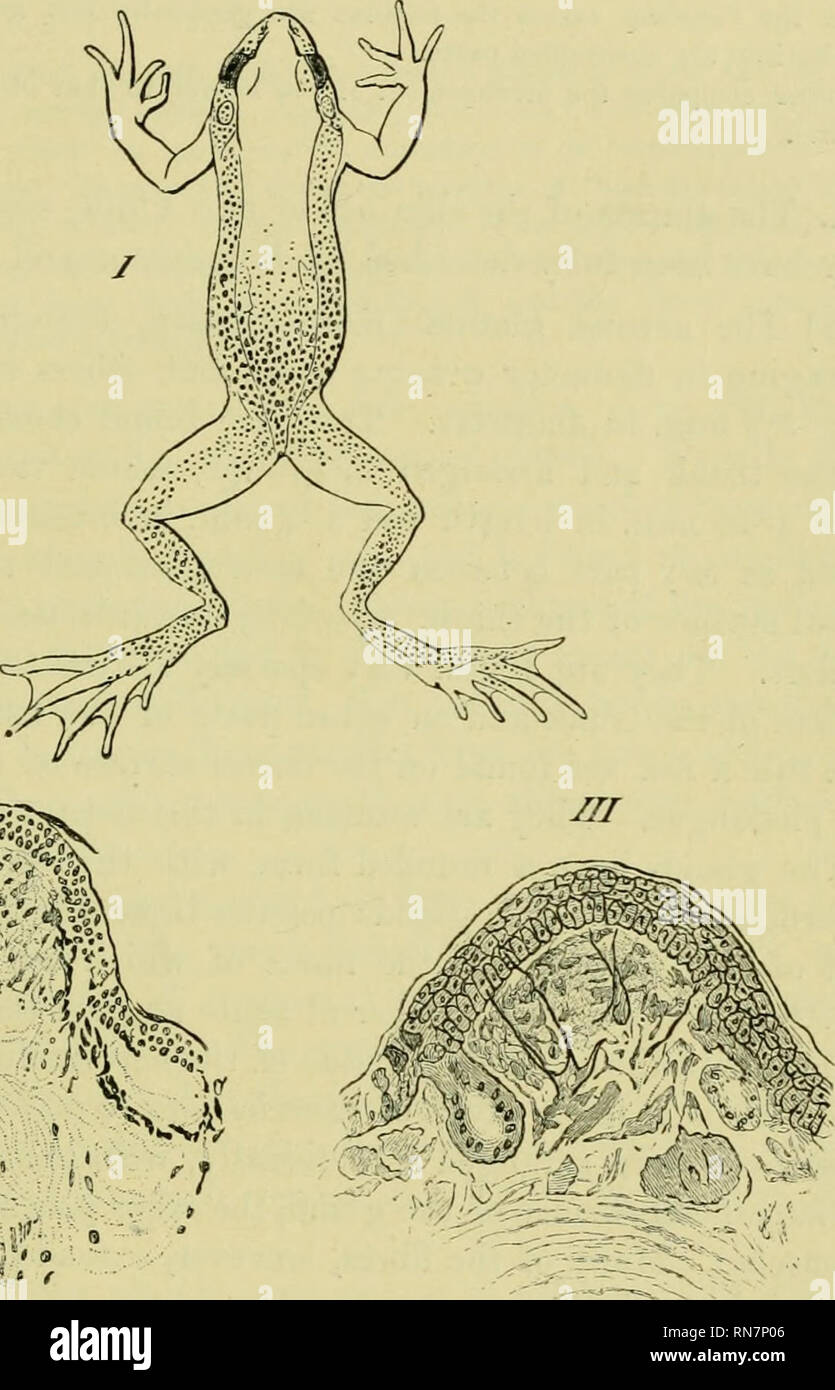 medium resolution of  the anatomy of the frog frogs anatomy amphibians anatomy the skin and its append ages 371 the papillae are large and very numerous around the