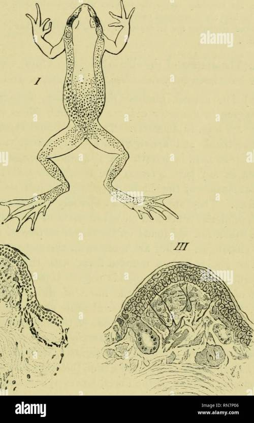 small resolution of  the anatomy of the frog frogs anatomy amphibians anatomy the skin and its append ages 371 the papillae are large and very numerous around the