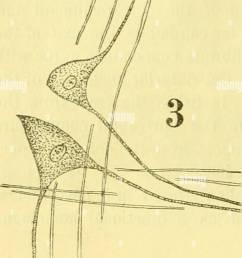 anatomischer anzeiger anatomy comparative anatomy comparative 426 pared for the  [ 998 x 1390 Pixel ]