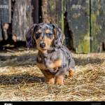 Miniature Dachshund Puppy Stock Photo Alamy