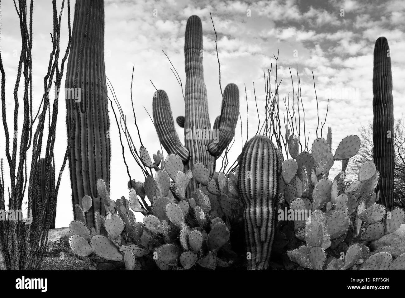 saguaro cactus black and