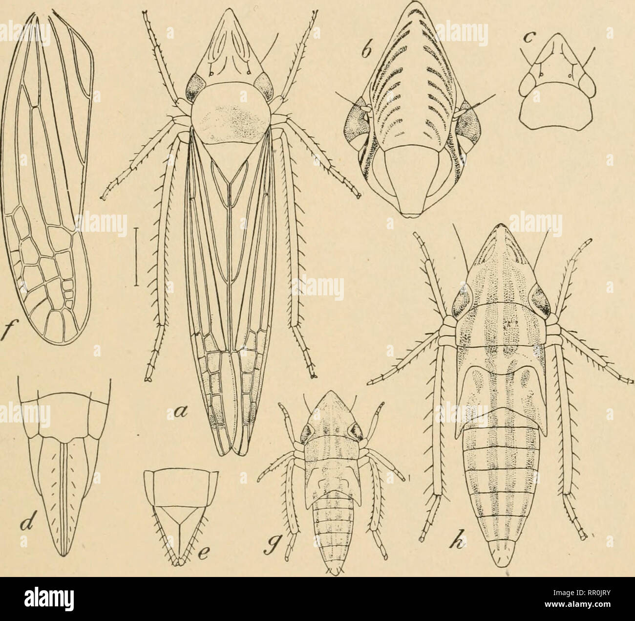 hight resolution of family tettigoniellid 109 out the temperate regions among them a particular species known as the sharpshooter oncometopia undata