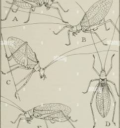 their ways and means of living insects the grasshopper s cousins fig 25 the katydid in various attitudes a usual position of a male while singing  [ 1008 x 1390 Pixel ]