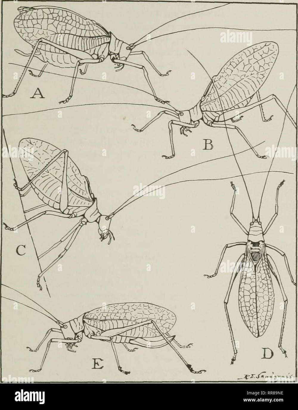 medium resolution of  their ways and means of living insects the grasshopper s cousins fig 25 the katydid in various attitudes a usual position of a male while singing