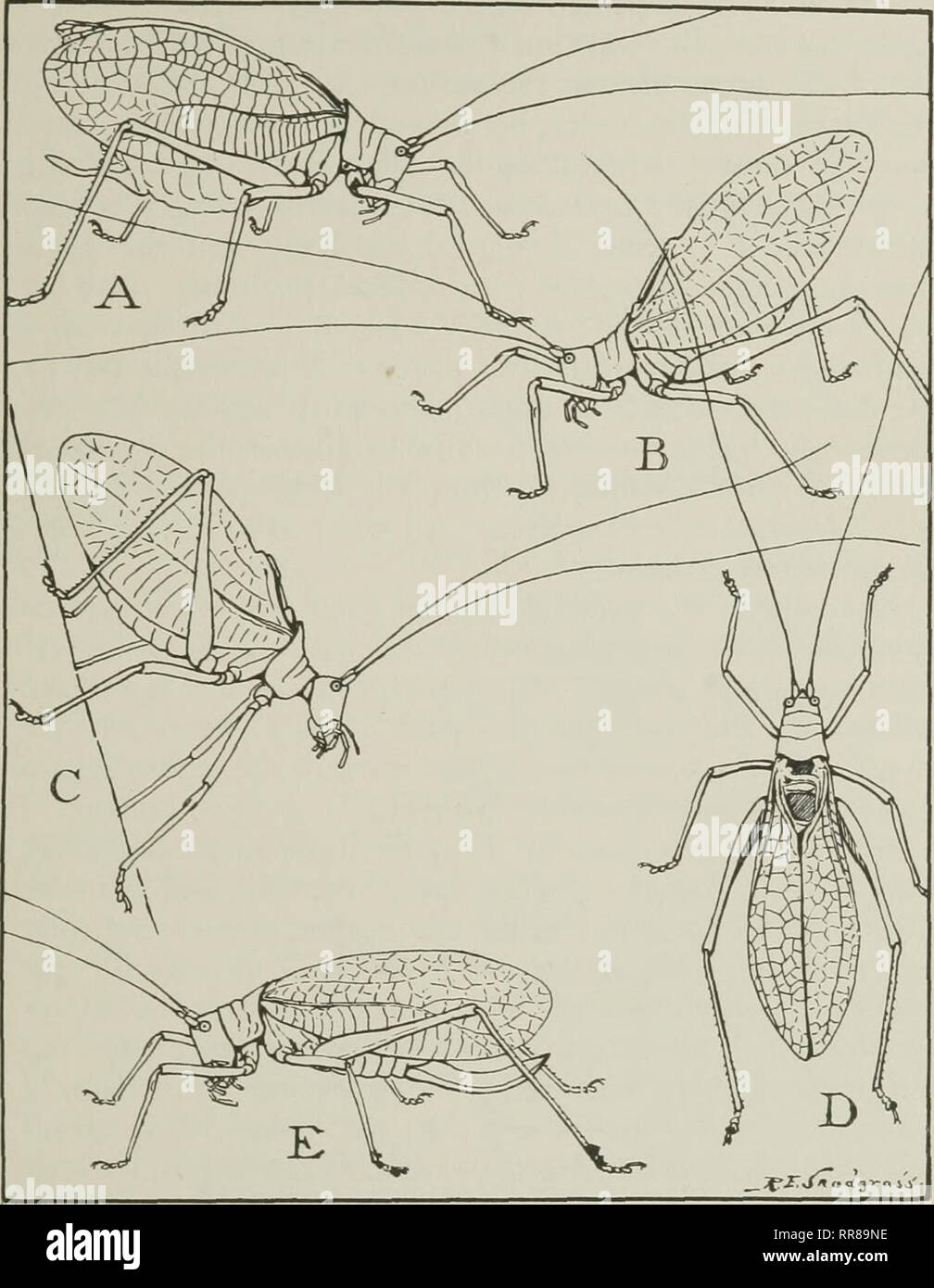 hight resolution of  their ways and means of living insects the grasshopper s cousins fig 25 the katydid in various attitudes a usual position of a male while singing