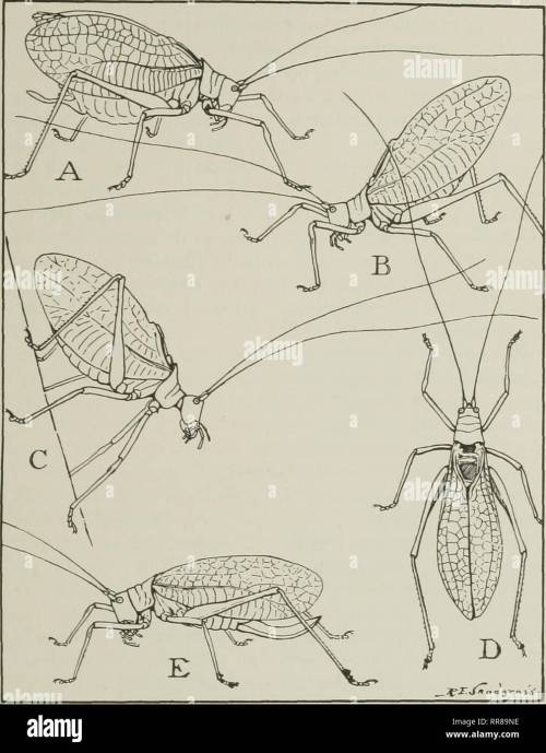 small resolution of  their ways and means of living insects the grasshopper s cousins fig 25 the katydid in various attitudes a usual position of a male while singing
