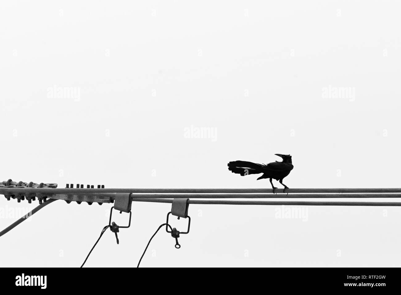 hight resolution of carib grackle quiscalus lugubris perching on the electrical wire stock image
