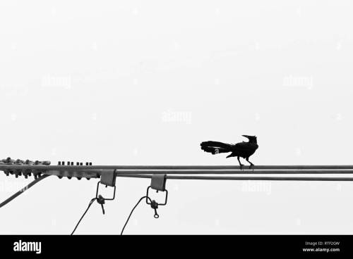 small resolution of carib grackle quiscalus lugubris perching on the electrical wire stock image