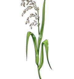 rice plant botanical illustration color vector drawing of rice twig with leaves and earof ripe grains [ 990 x 1390 Pixel ]