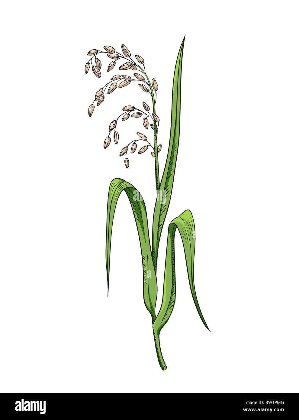 medium resolution of rice plant botanical illustration color vector drawing of rice twig with leaves and earof ripe grains