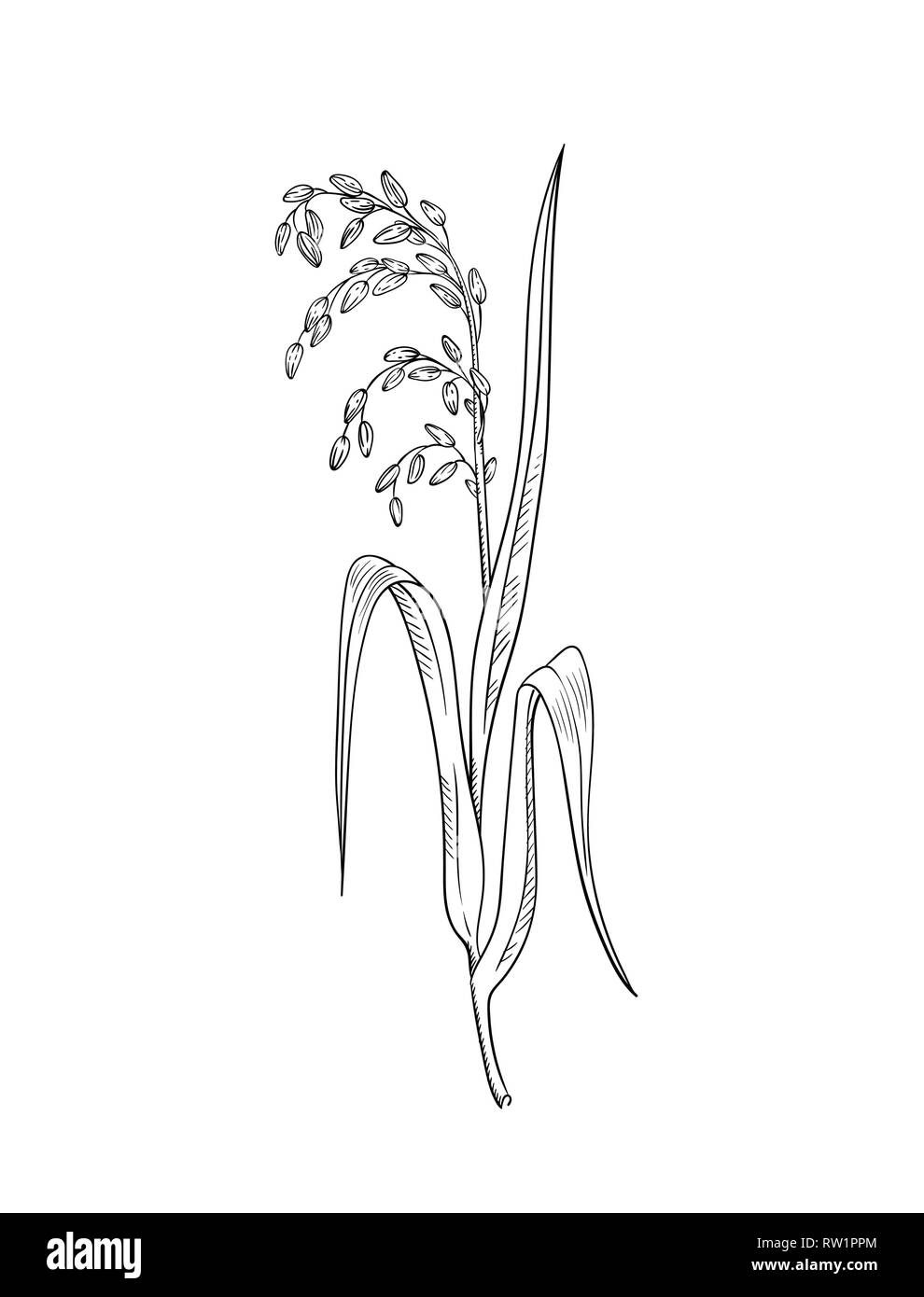 hight resolution of rice plant botanical illustration vector sketch of rice twig with leaves and earof ripe grains isolated