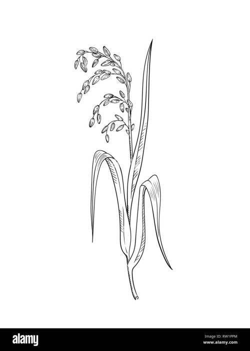 small resolution of rice plant botanical illustration vector sketch of rice twig with leaves and earof ripe grains isolated