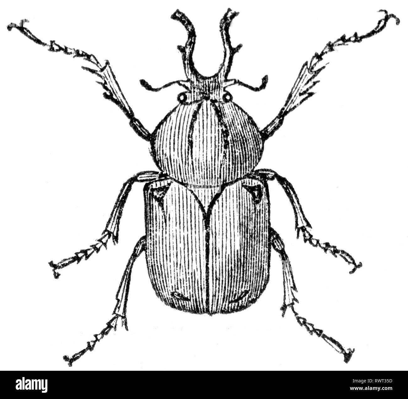 Beetle Scarabaeidae Stock Photos Amp Beetle Scarabaeidae