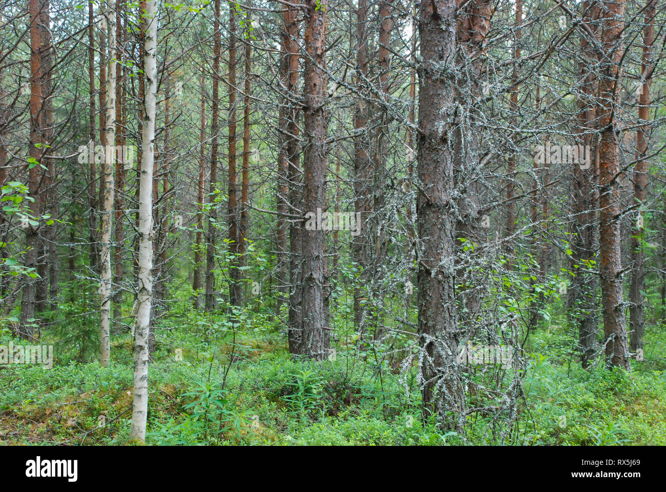 It is bound by tundra to the north and by temperate deciduous forests or savanna/prairie/steppes to the south. Taiga Forest Boreal Forest Biome Natural Wild Landscape In North Eastern Finland Europe With Coniferous Trees Including Pines And Spruces Stock Photo Alamy