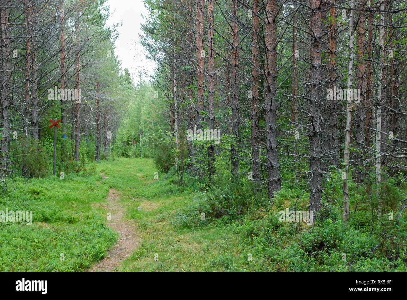 You can go hiking, cycling, canoeing, fishing, or even on a husky safari. Taiga Forest Boreal Forest Biome Natural Wild Landscape In North Eastern Finland Europe With Coniferous Trees Including Pines And Spruces Stock Photo Alamy