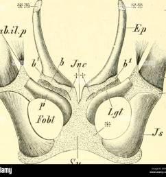 einf hrung in die vergleichende anatomie einf hrung in die vergleichende anatomie der wirbeltiere f r studierende  [ 1300 x 1236 Pixel ]