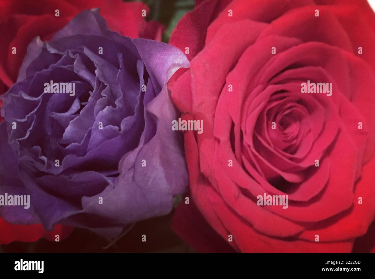purple red roses stock