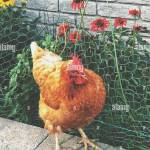 Backyard Chicken Standing Beside Garden Protected By Chicken Wire Fence Stock Photo Alamy