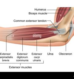 anatomy of the elbow muscles medical vector illustration [ 1300 x 1000 Pixel ]