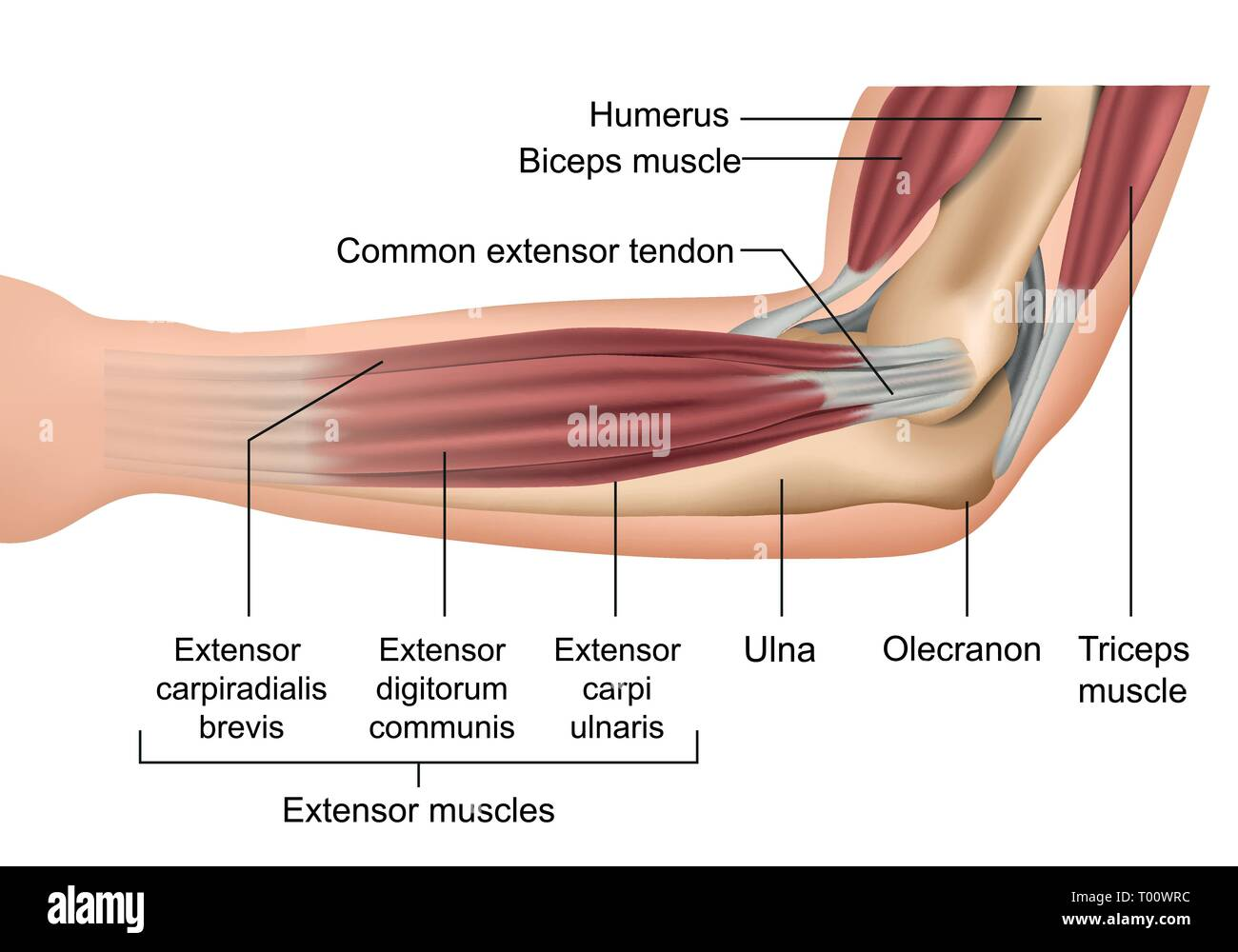 hight resolution of anatomy of the elbow muscles medical vector illustration