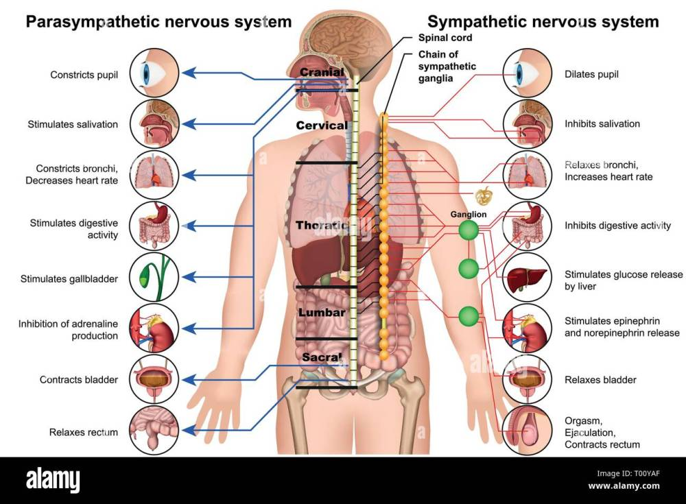medium resolution of sympathetic and parasympathetic nervous system 3d medical vector illustration on white background stock image