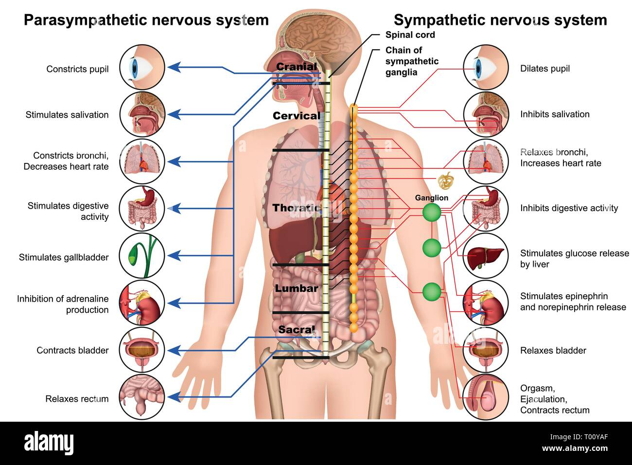 hight resolution of sympathetic and parasympathetic nervous system 3d medical vector illustration on white background stock image