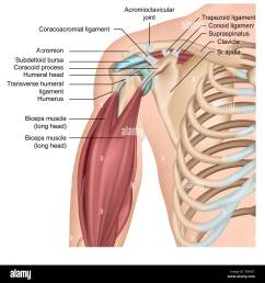 shoulder anatomy 3d medical vector illustration with arm muscles stock image [ 1300 x 1390 Pixel ]