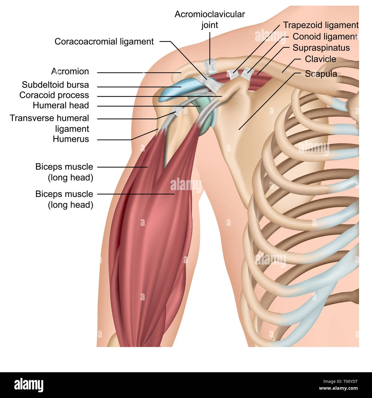 hight resolution of shoulder anatomy 3d medical vector illustration with arm muscles stock image