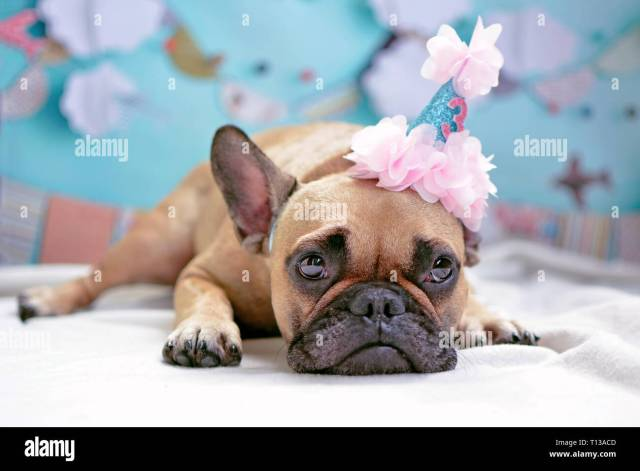 cute lying brown female french bulldog dog with pink