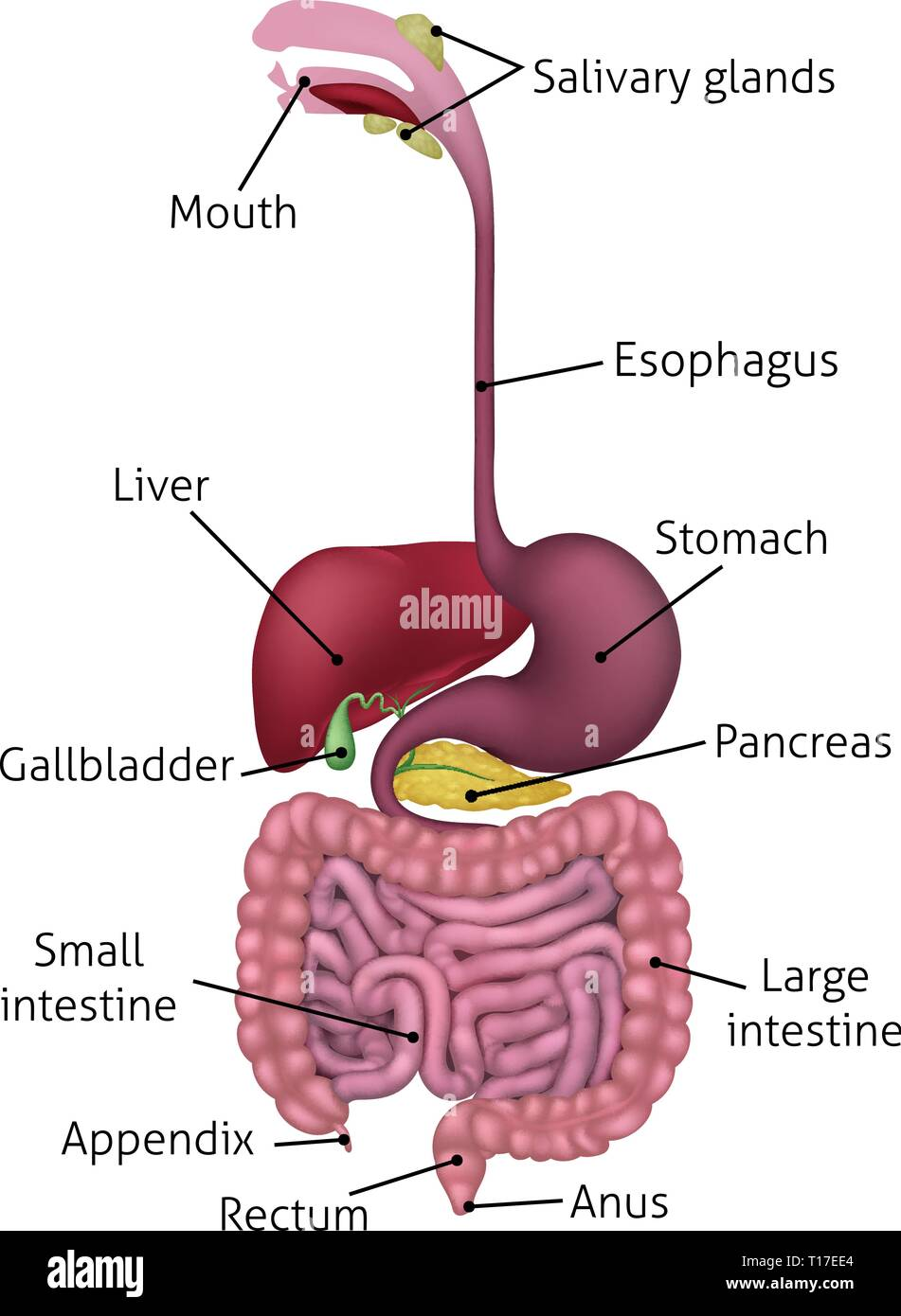 Can You Drag The Labels To The Correct Locations In This Diagram Of Human Digestive Organs? : labels, correct, locations, diagram, human, digestive, organs?, Digestive, System, Diagram, Resolution, Stock, Photography, Images, Alamy