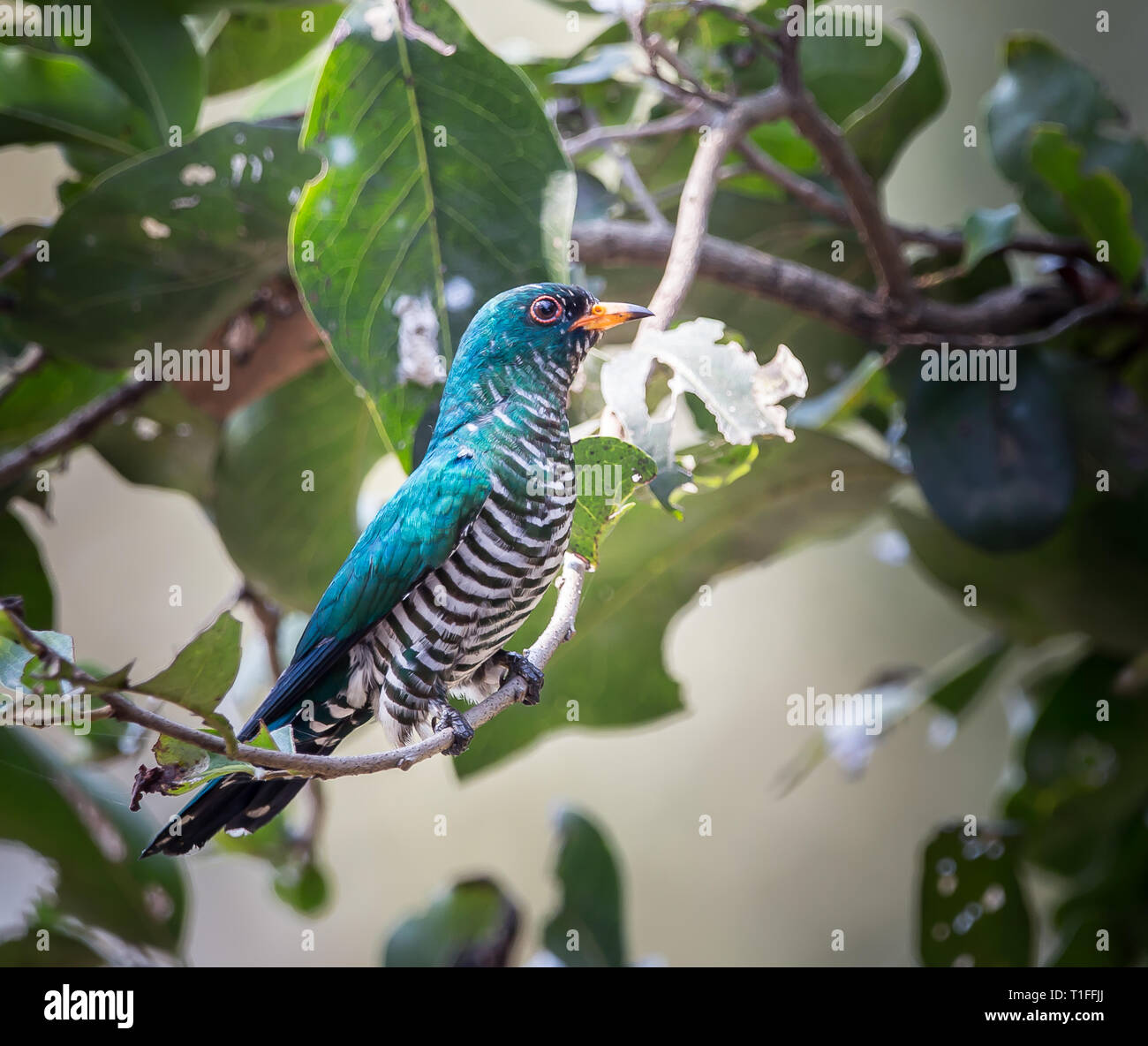 Sciencing.com › science › nature › animals animals found in. Asian Emerald Cuckoo Chrysococcyx Maculatus Cactus Emerald Is Native To The Tropical Evergreen Forests Of Northern India Southern China And Northe Stock Photo Alamy
