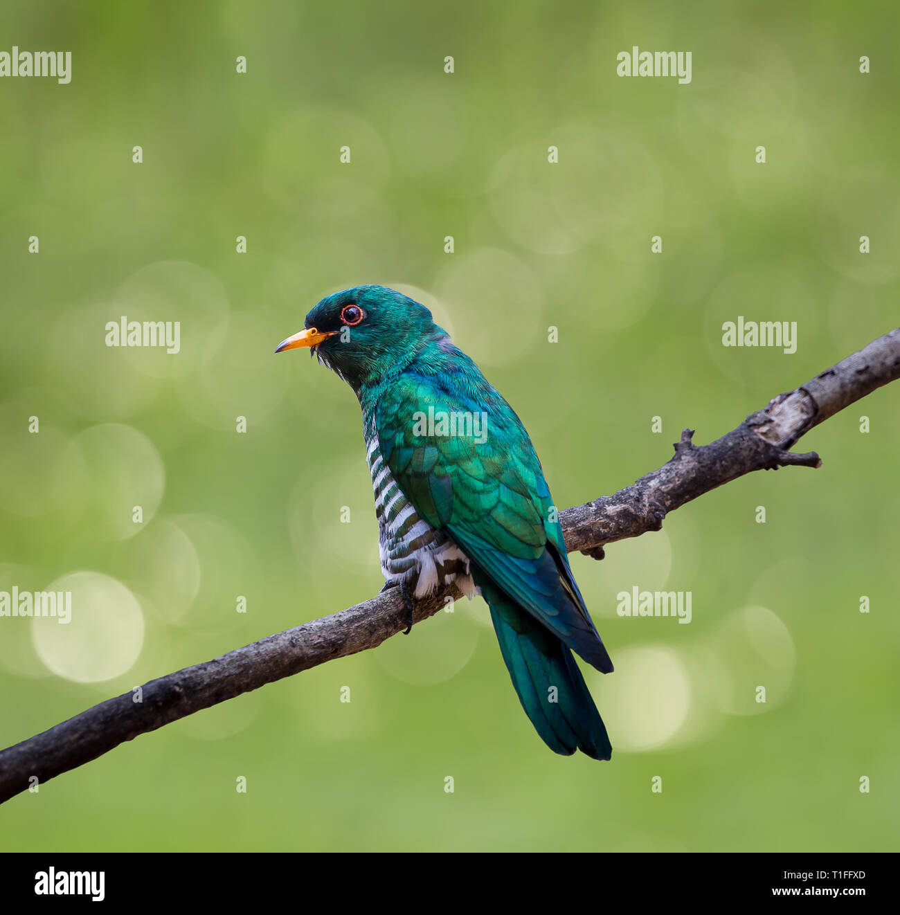 Tropical deciduous forest and proper savanna in africa. Asian Emerald Cuckoo Chrysococcyx Maculatus Cactus Emerald Is Native To The Tropical Evergreen Forests Of Northern India Southern China And Northe Stock Photo Alamy