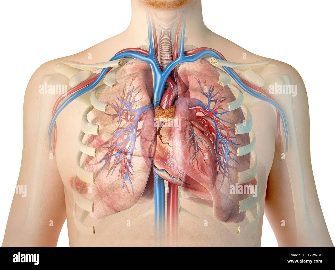 hight resolution of human heart with vessels lungs bronchial tree and cut rib cage on white