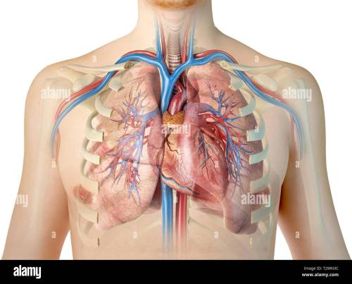 small resolution of human heart with vessels lungs bronchial tree and cut rib cage on white