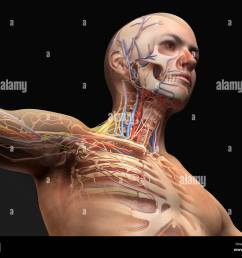 man head and chest anatomy diagram with ghost effect skeletal cardiovascular nervous and lymphatic systems  [ 1300 x 1064 Pixel ]