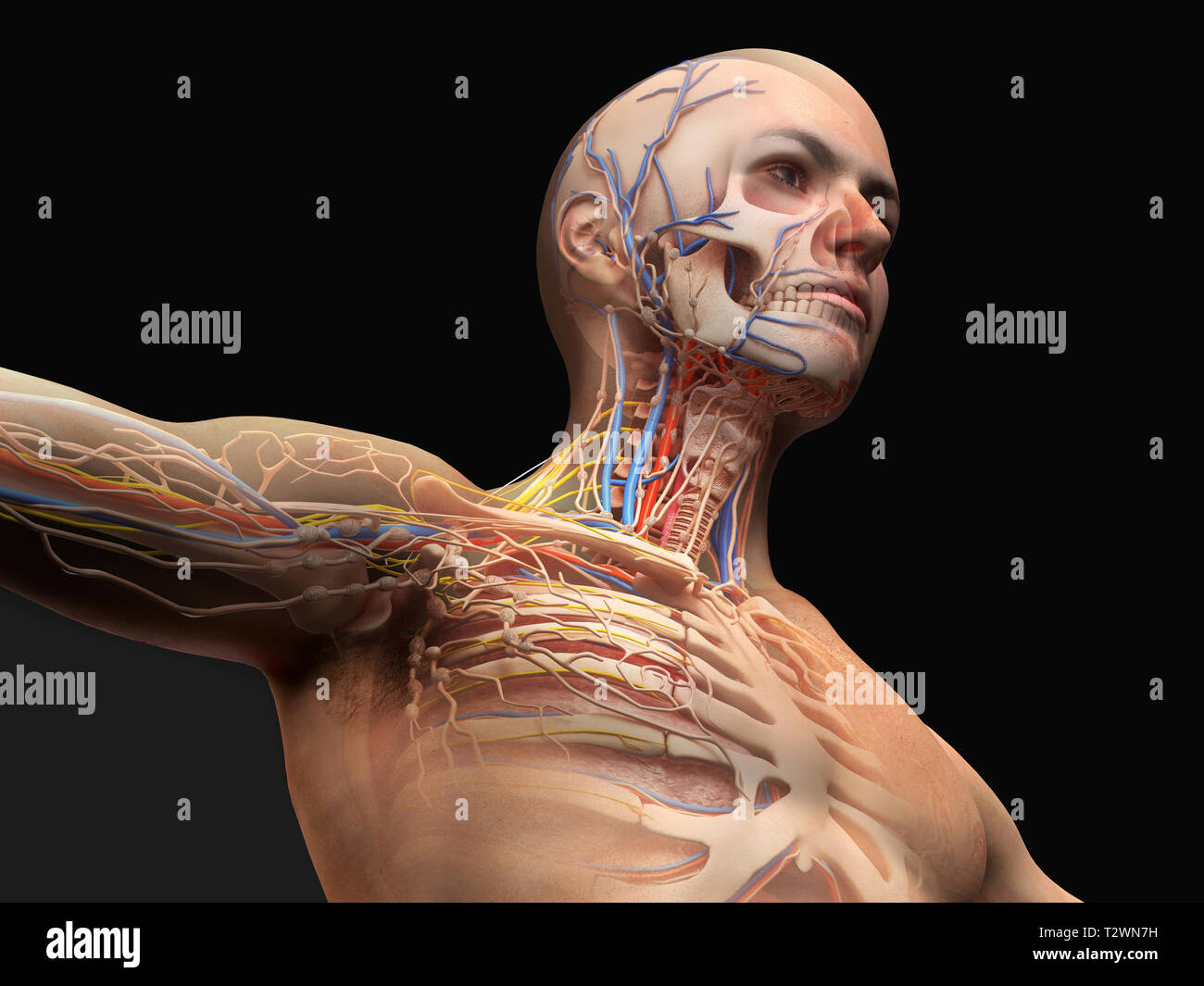 hight resolution of man head and chest anatomy diagram with ghost effect skeletal cardiovascular nervous and lymphatic systems