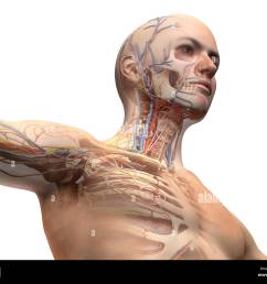 man head and chest anatomy diagram with ghost effect skeletal cardiovascular nervous and [ 1300 x 1064 Pixel ]
