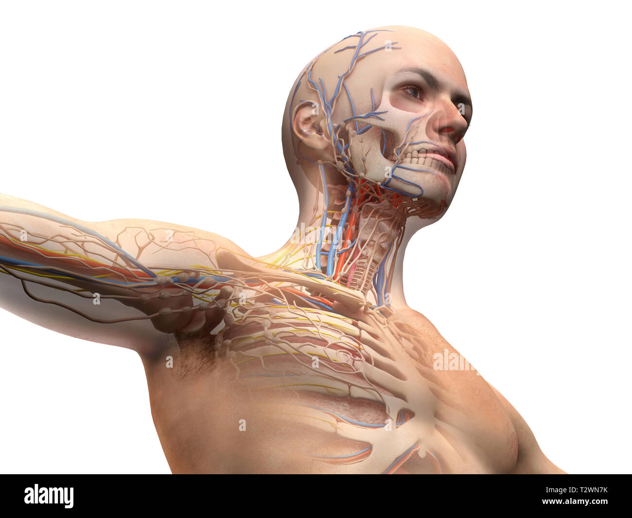 hight resolution of man head and chest anatomy diagram with ghost effect skeletal cardiovascular nervous and