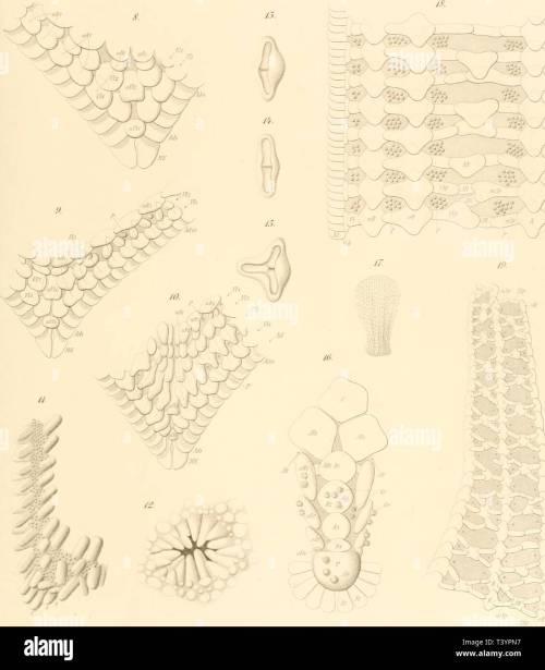 small resolution of die seesterne des mittelmeeres dieseesternedesm00ludw year 1897 9 asterias tenuispina l lt lk trr rr iwinttr fi