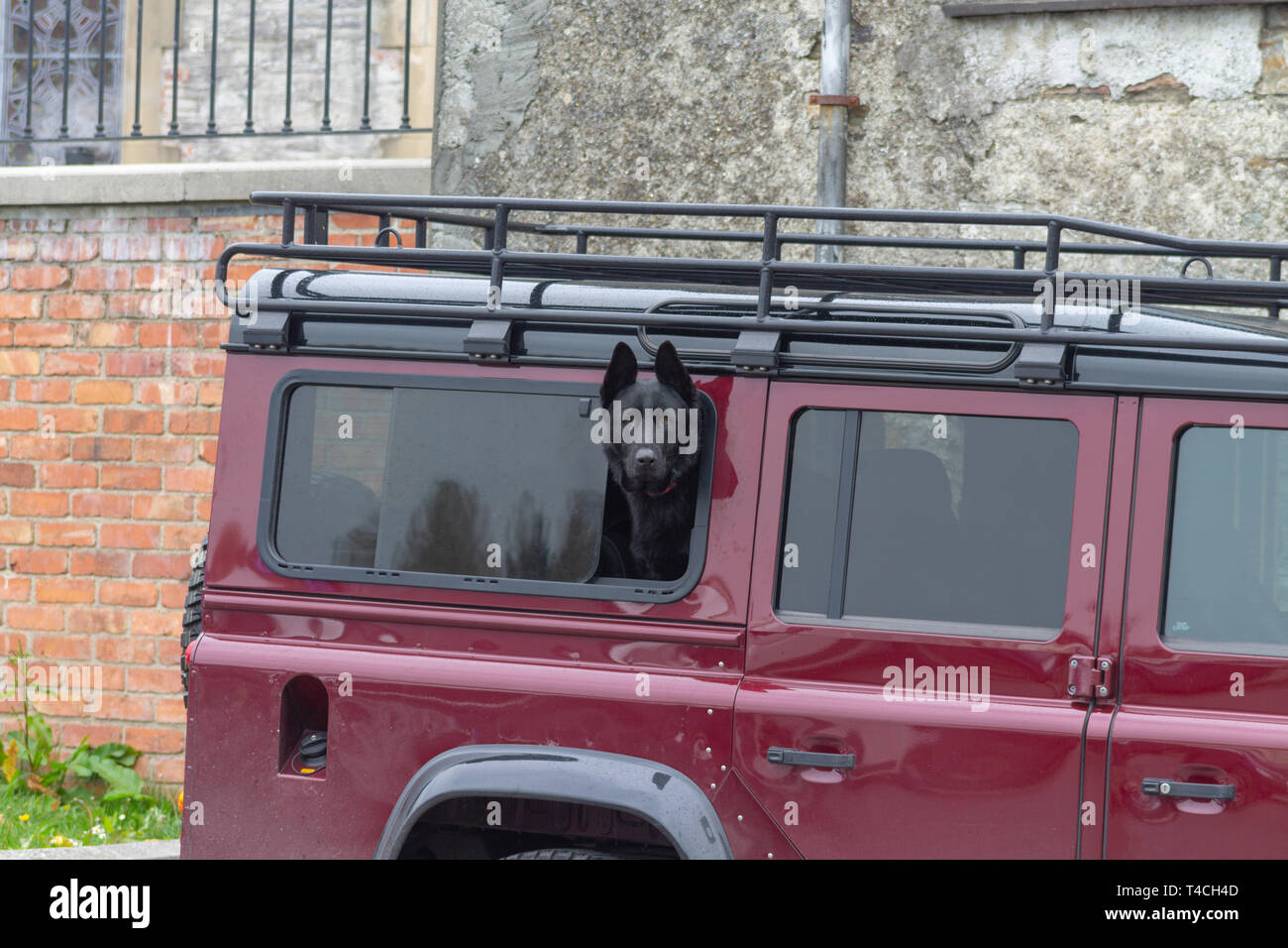 hight resolution of black alsatian or gsd german shepherd dog looking out the window of a land rover defender