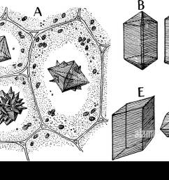 a picture showing different forms of calcium oxalate crystals vintage line drawing or engraving illustration [ 1300 x 866 Pixel ]