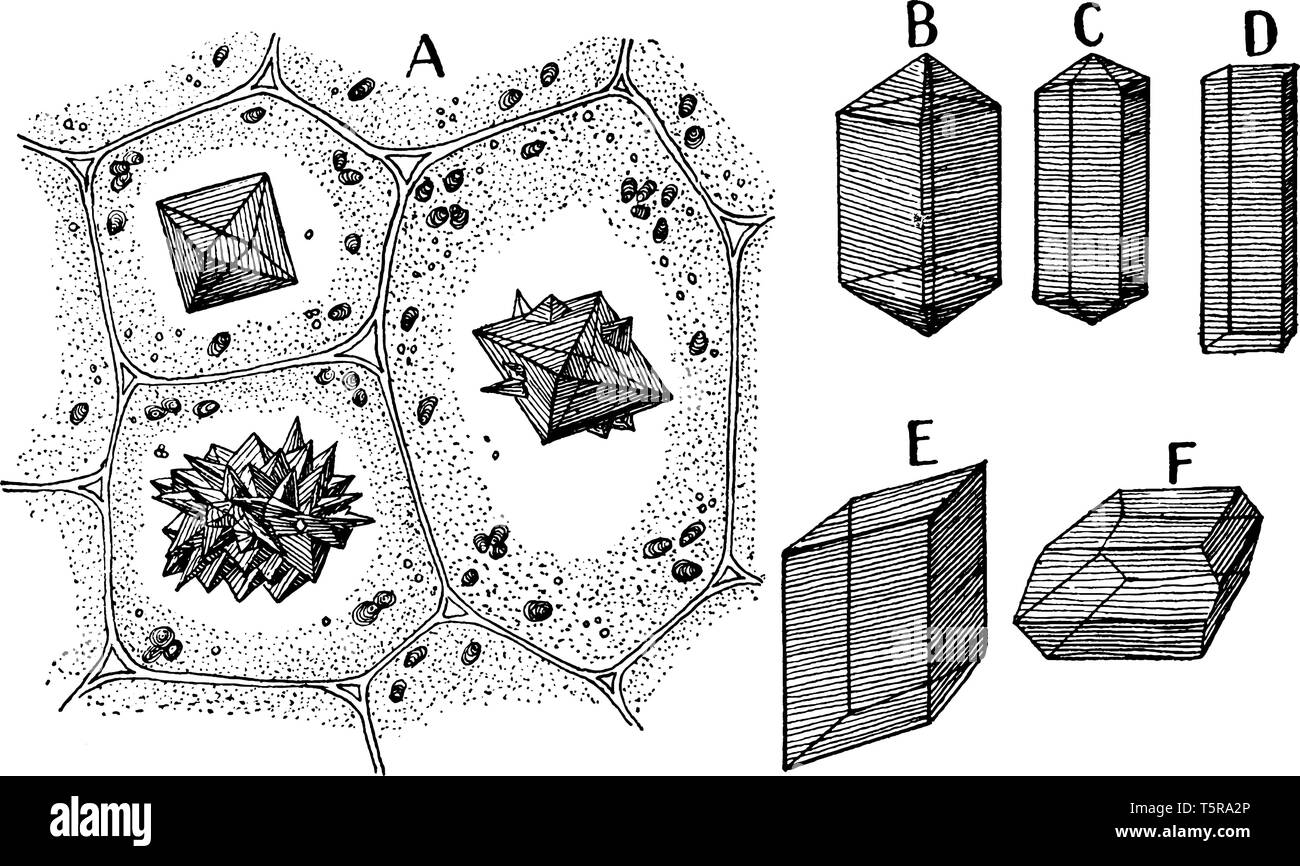 hight resolution of a picture showing different forms of calcium oxalate crystals vintage line drawing or engraving illustration