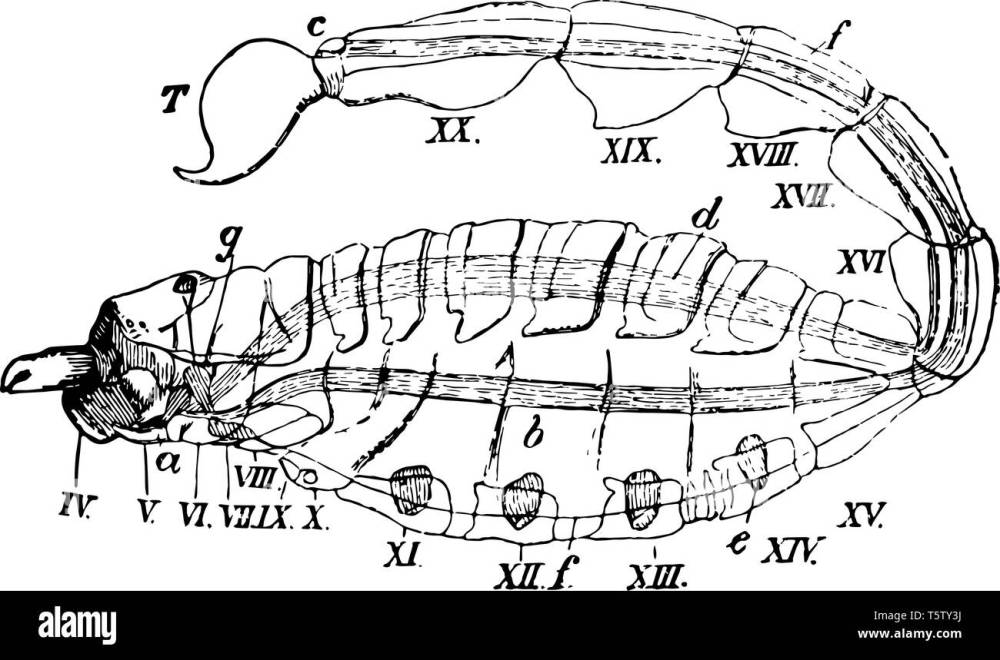 medium resolution of scorpion diagram represents fourth to twentieth somite basis of the pedipalpi or great claws vintage line